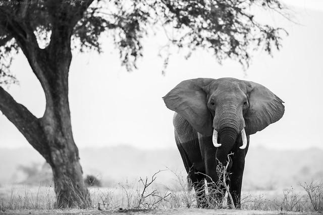 Zambezi Elephant, Nikon D800, AF-S VR Nikkor 400mm f/2.8G ED