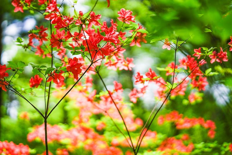 Kaempfer azalea