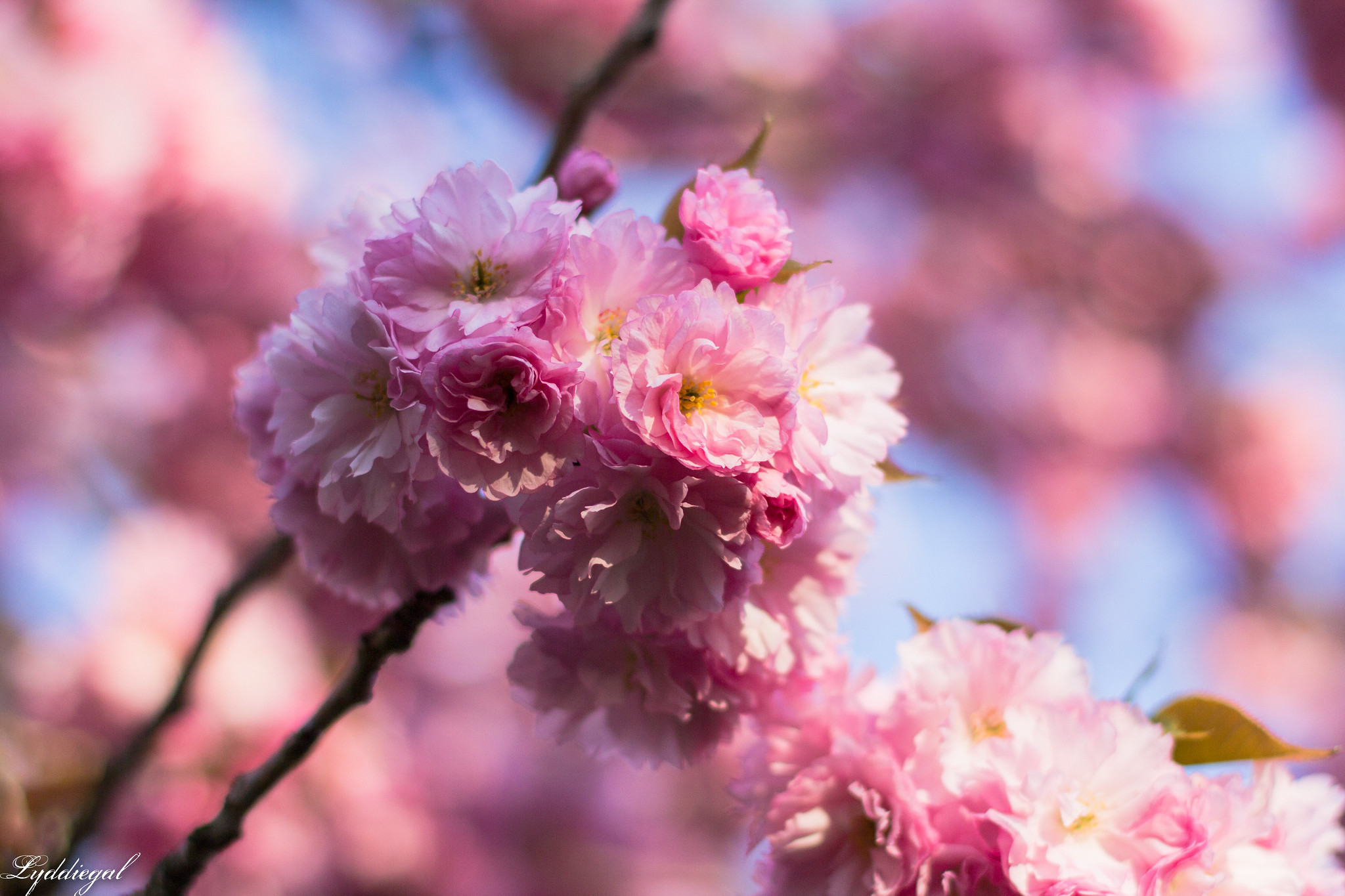 cherry blossoms-1.jpg