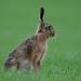 Hare, European hare. Feldhase (Lepus europaeus)
