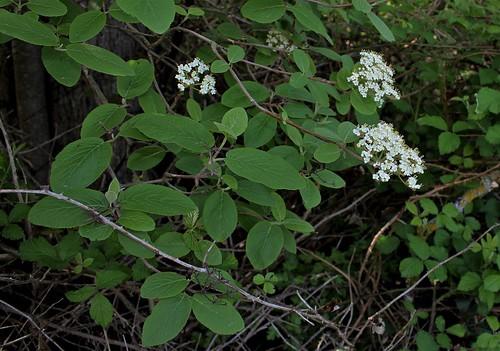 Viburnum lantana - viorne mancienne 41319078714_e952a36047