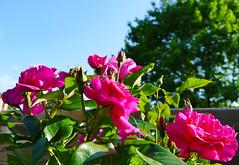Mes Amies les Roses - Photo of Vendays-Montalivet