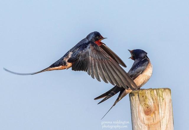 Pair of Swallows