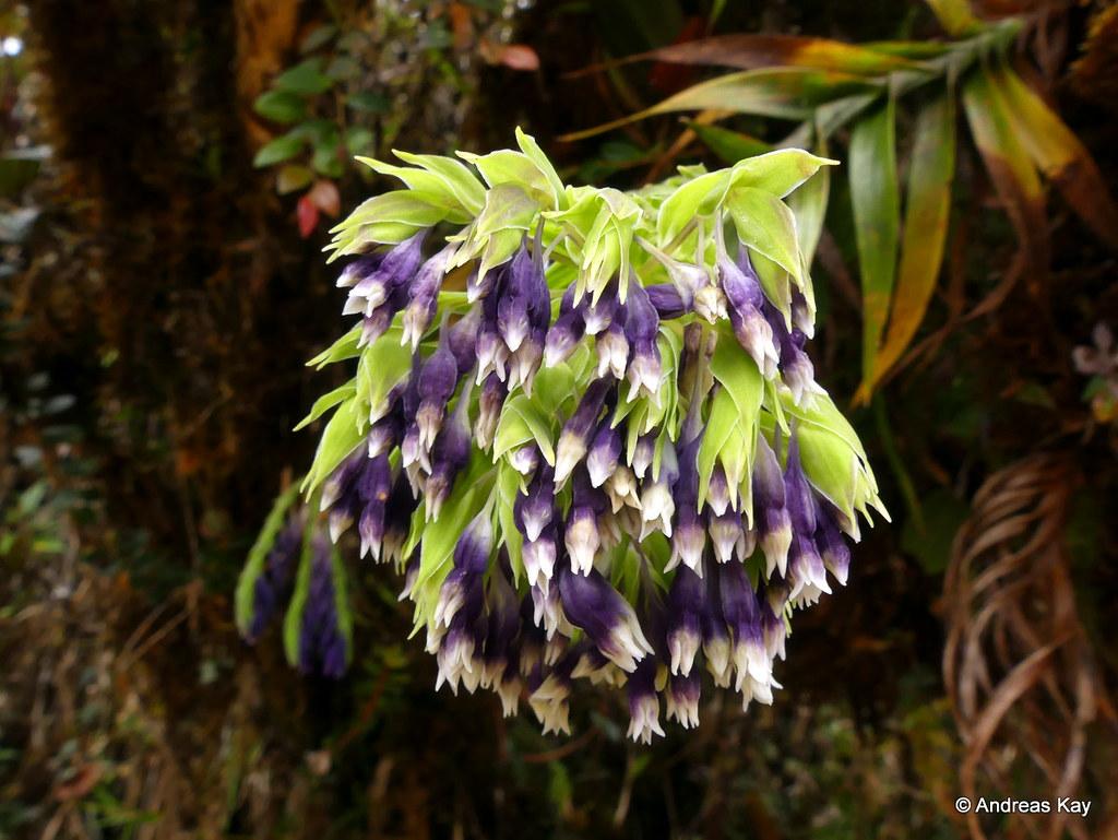 Burmannia kalbreyeri, Burmanniaceae