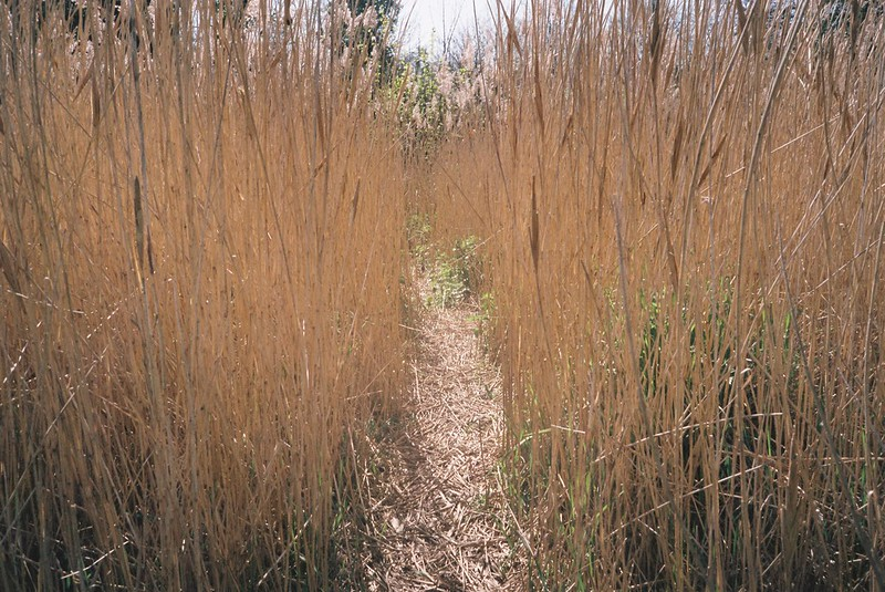 Reedbed, Old Sneed Park nature reserve