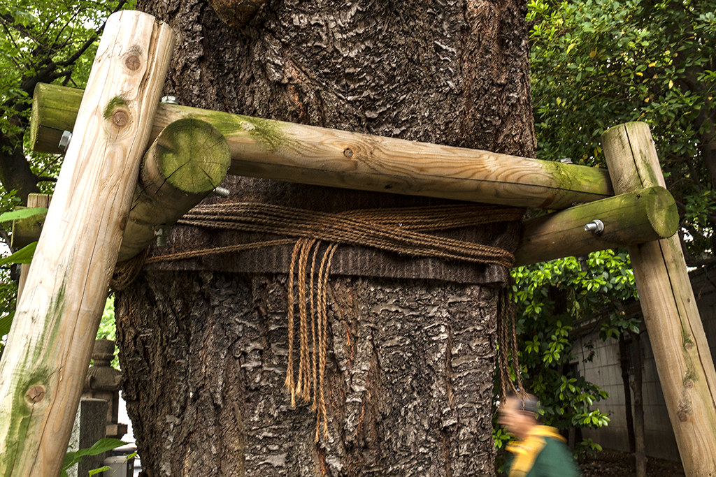 Tree brace--Tokyo