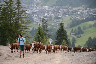 Cattle on migration in the French/Swiss Alps