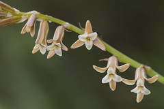 Dipcadi serotinum - Photo of Paziols