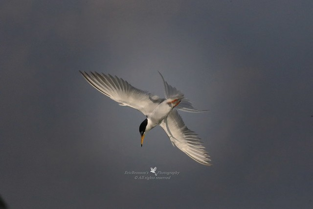 6F8A3564  Little Tern, Canon EOS 7D MARK II, EF400mm f/5.6L USM