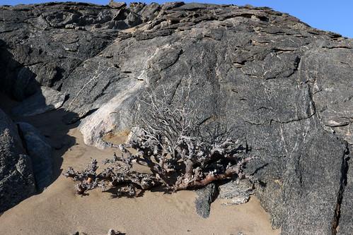 Pelargonium ceratophyllum in habitat