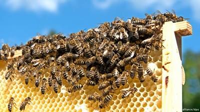 7 Jenis lebah madu yang ada di indonesia saat ini