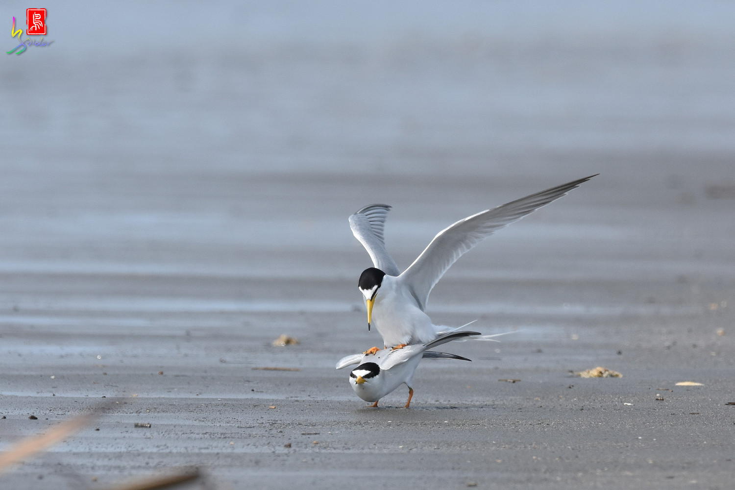 Little_Tern_4346