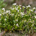 Common scurvygrass (Cochlearia officinalis) plant in flower