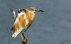 squacco heron by tdwrsa