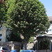 Bastard Service Tree on Peckham Street Walk