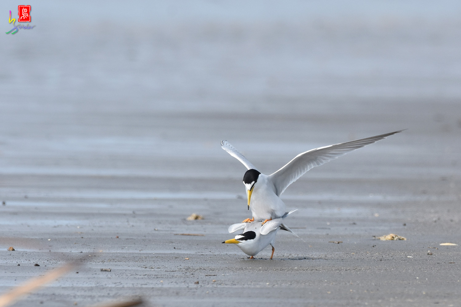 Little_Tern_4391