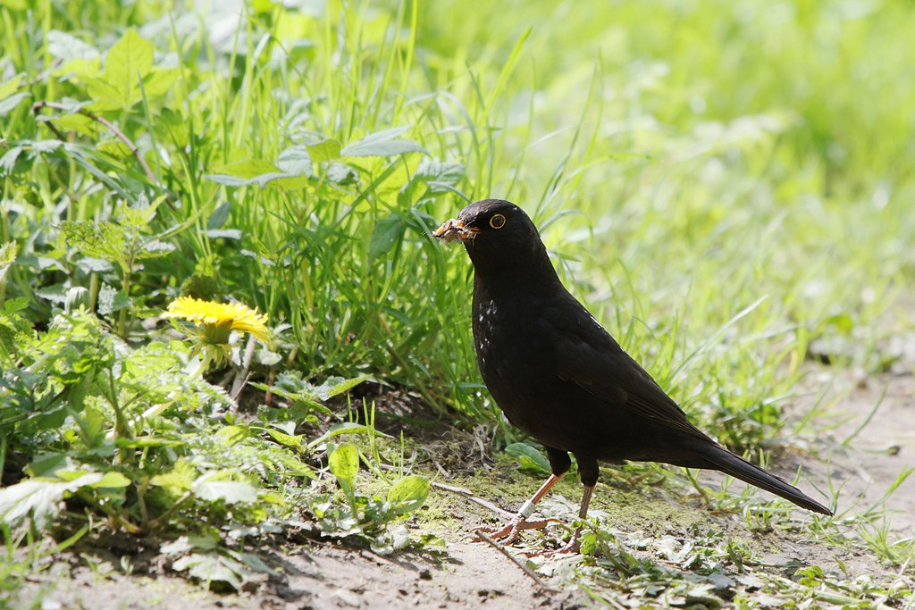Blackbird with food, ringed