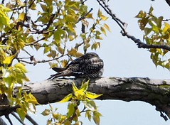 Common Nighthawk (Chordeiles minor) in Rondeau P5160034