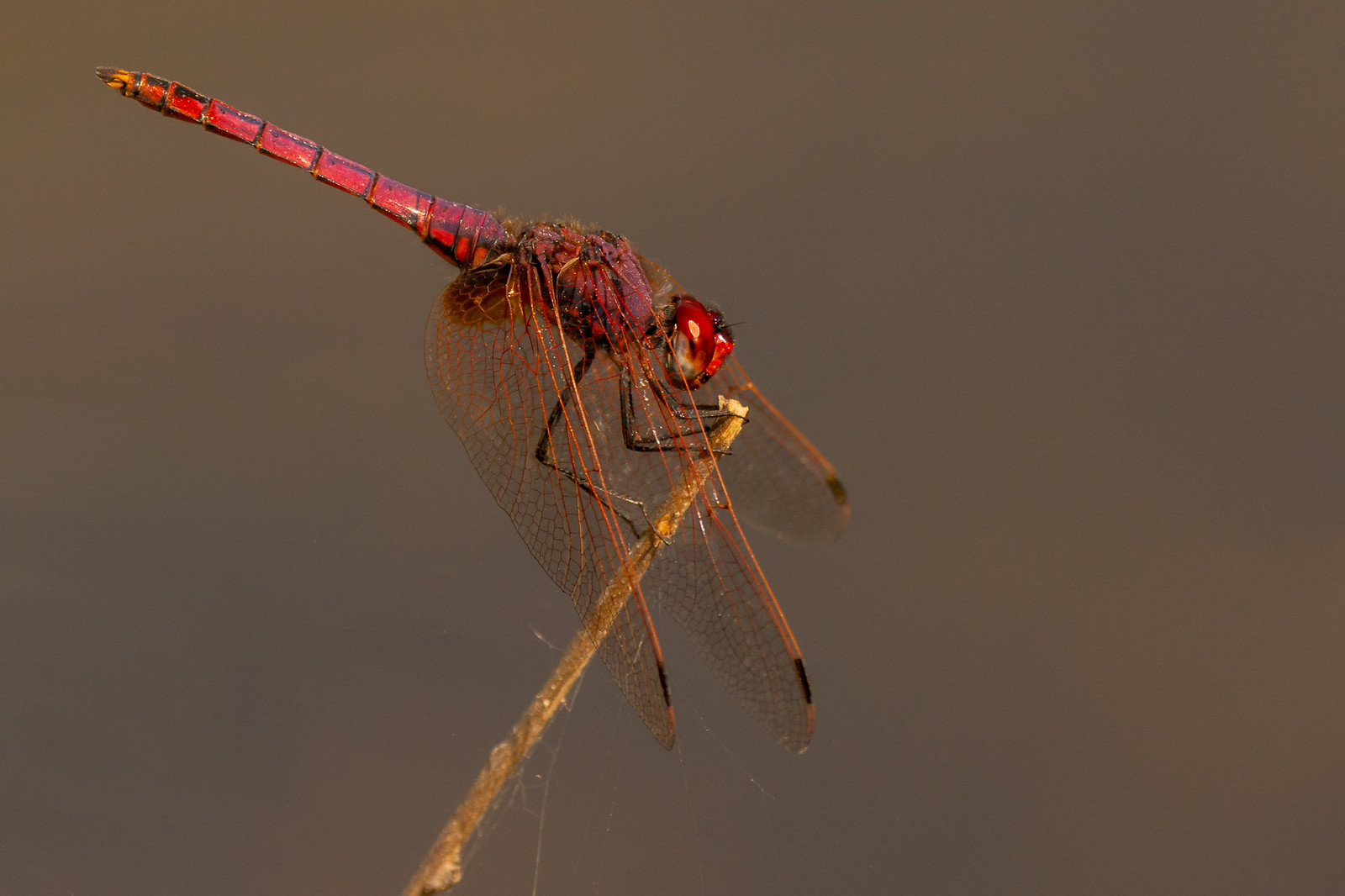 Violet Dropwing Dragonfly (Male) - Trithemis annulata