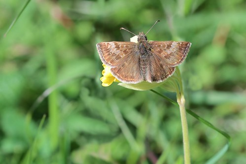 Dingy Skipper (Explored!? 11-05-18)