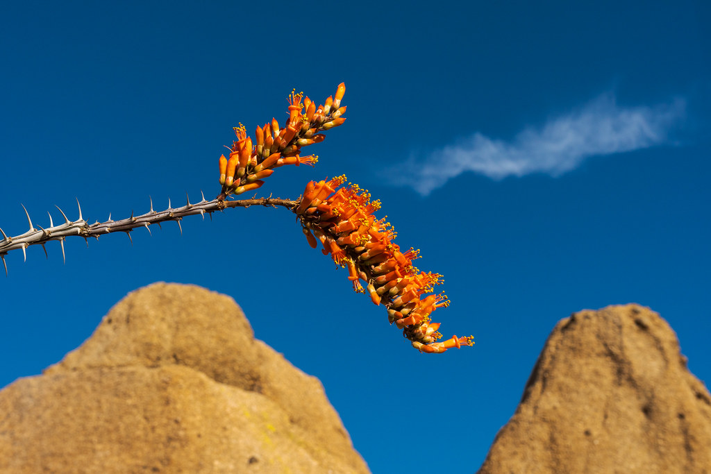 A bloomin ocotillo set against a blue sky with a cloud appearing like breath from the flower in Pinnacle Peak Park in Scottsdale, Arizona