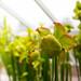 Carnivorous Pitcher Plant (Sarracenia) 6007
