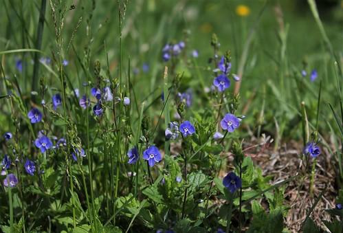 Veronica chamaedrys var. chamaedrys - véronique petit-chêne 41330522115_f8613d4747