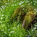 Stitchwort in Dufton Ghyll
