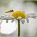 mouche jaune