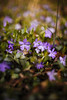 Vincas [04.27.18] by Andrew H Wagner | AHWagner Photo