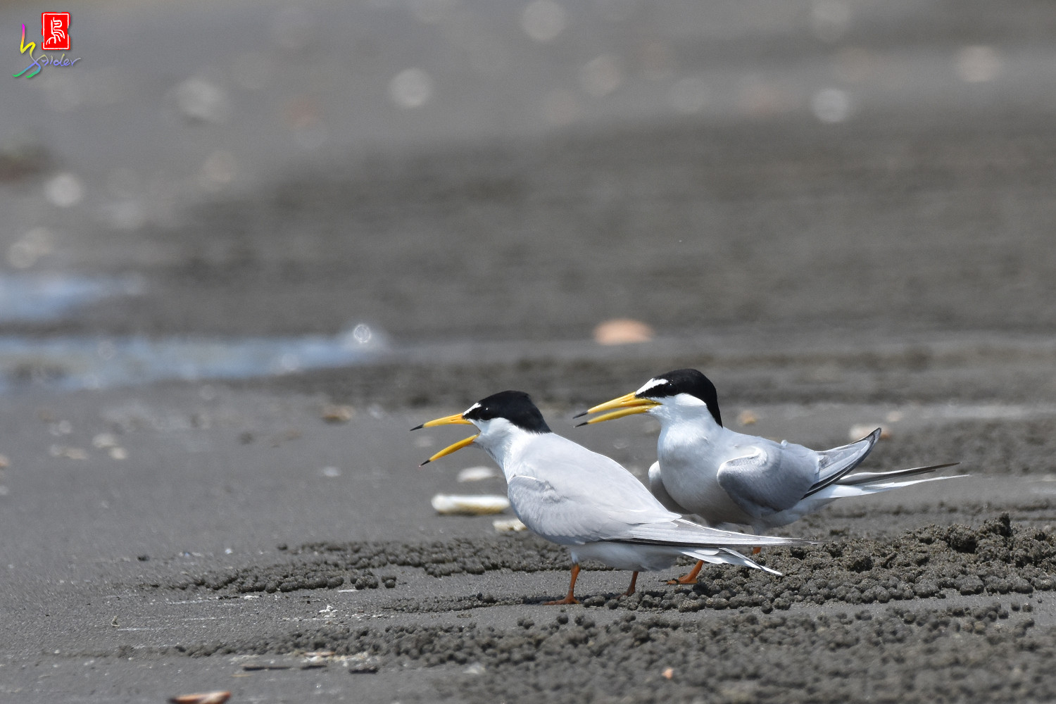 Little_Tern_4912