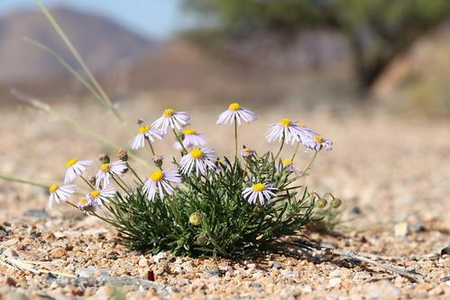 Namibian daisies