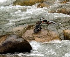 Torrent Duck, Merganetta armata