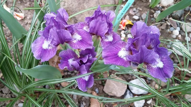 Commande d'iris chez Chapman Iris (2019 --> Page 9) - Page 8 41597838954_83afbf0642_c