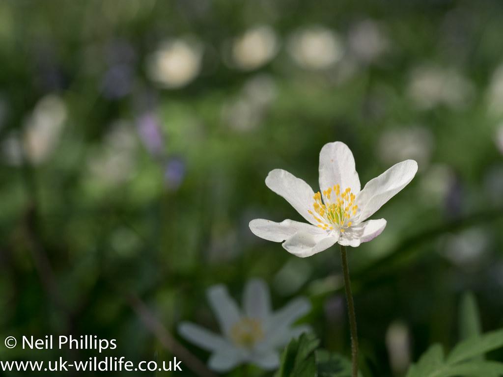 Wood anemone-8