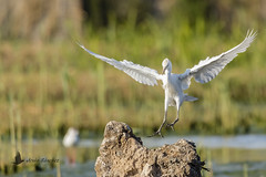 Vuelos de aves (Bird flights). Ardeidos (herons, egrets)