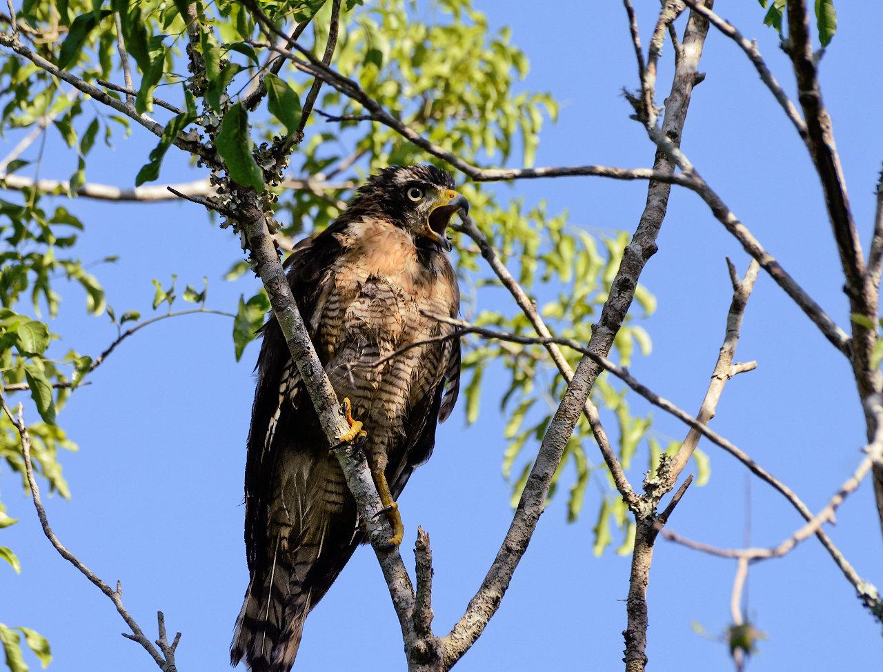Un gavilán de patas largas emite su sonido desde las ramas de un árbol, en la localidad de Zanjita, en el departamento de Ñeembucú, cerca del río Paraguay. (Elton Núñez).