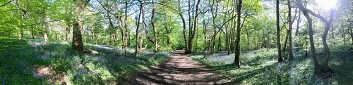 Banstead Wood / Bluebells