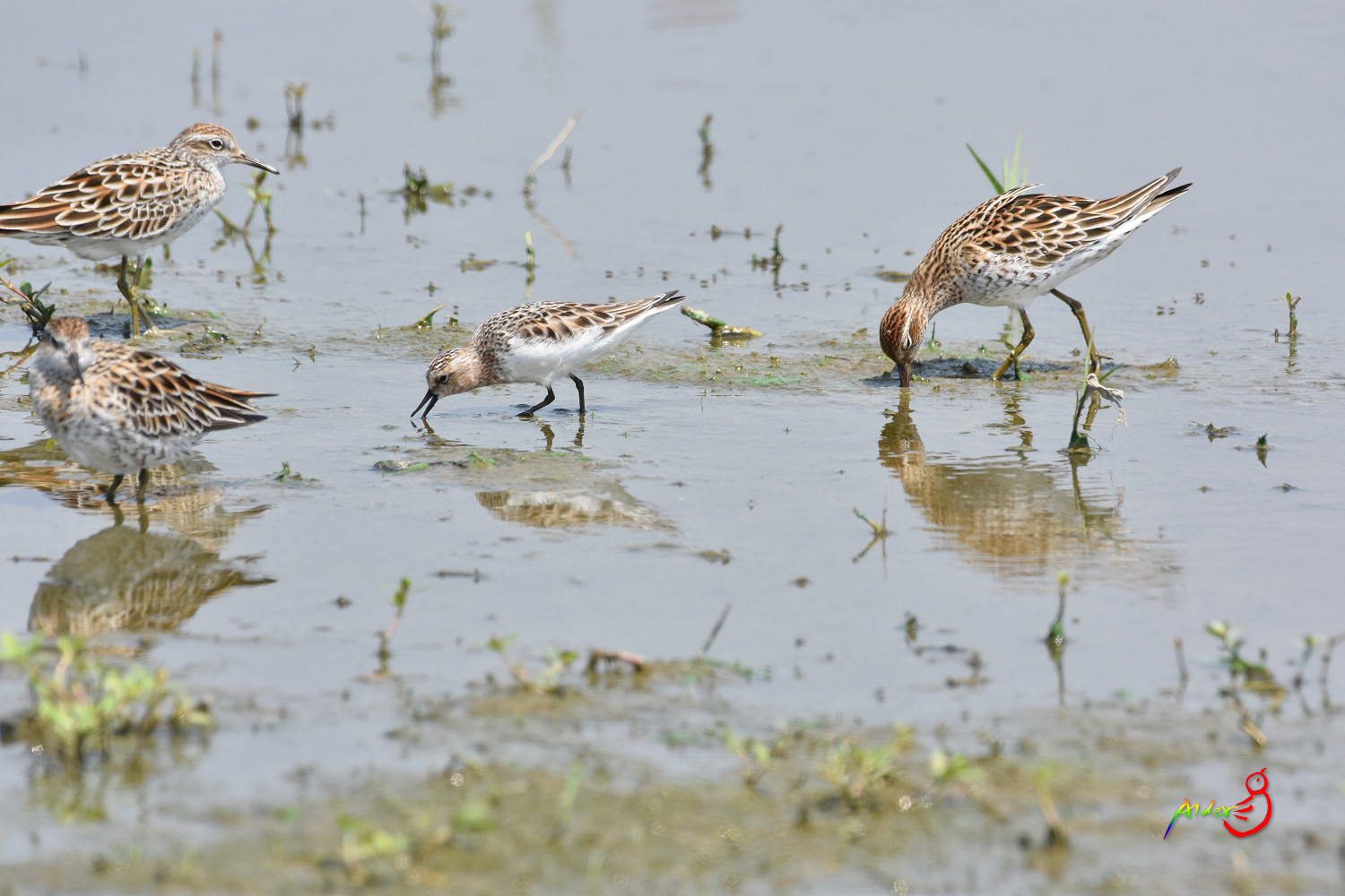 Sharp-tailed_Sandpiper_5589
