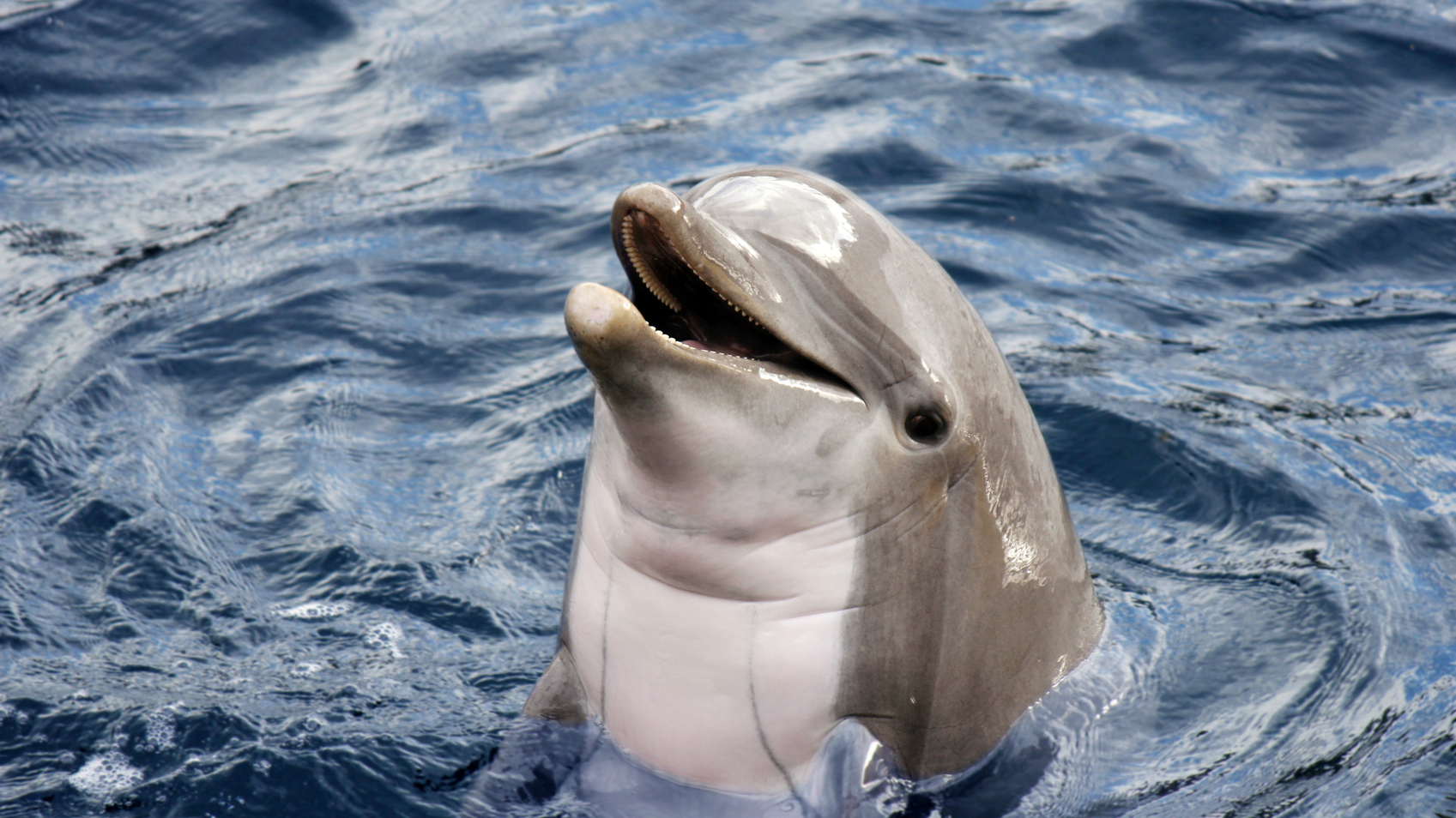 A dolphin surfaces in the sea.