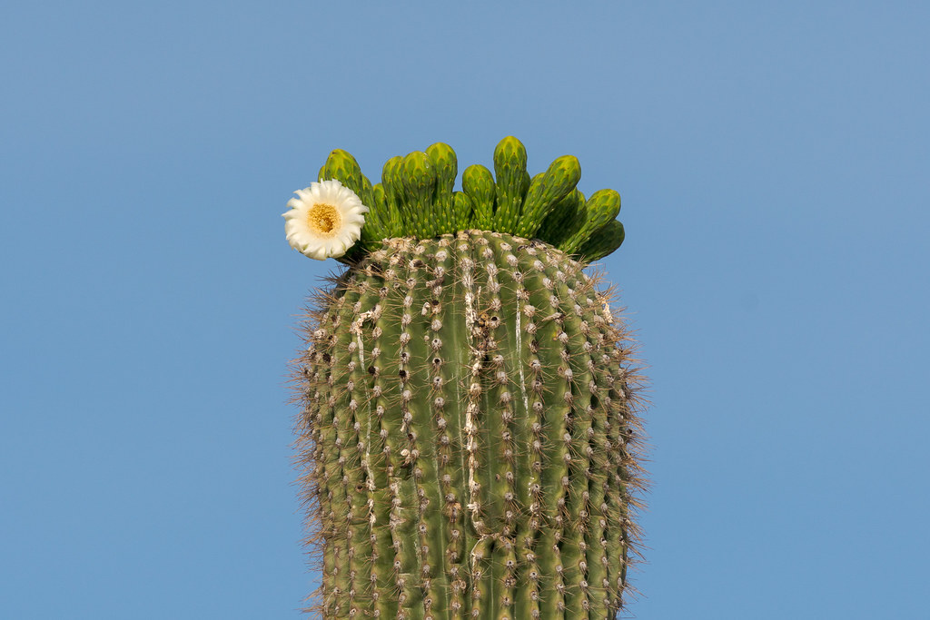 A saguaro blossom is the first of its group to flower.