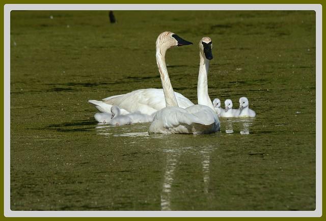 {}{}{} Swan Family Swim - III. {}{}{}