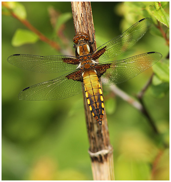 Broad bodied Chaser (immature male) Shuart, Reculver, 11/5/18