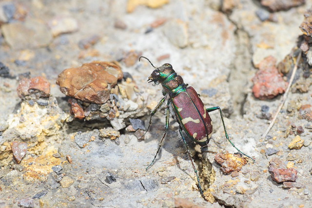 Common Claybank Tiger Beetle, Canon EOS 7D, Canon EF 200mm f/2.8L II