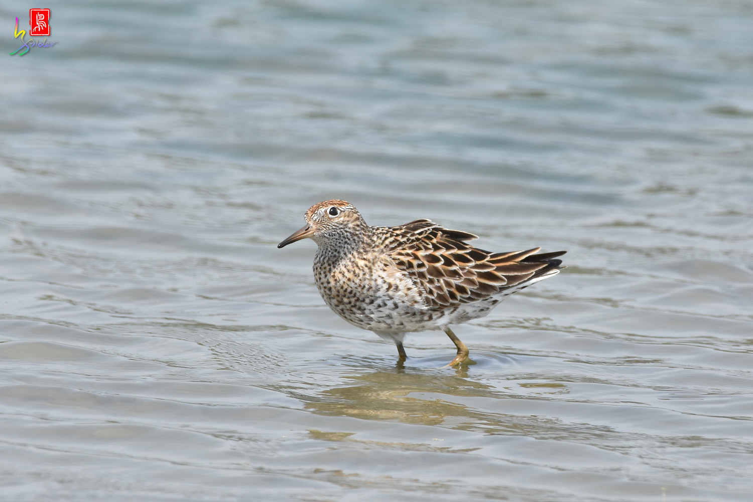 Sharp-tailed_Sandpiper_3732