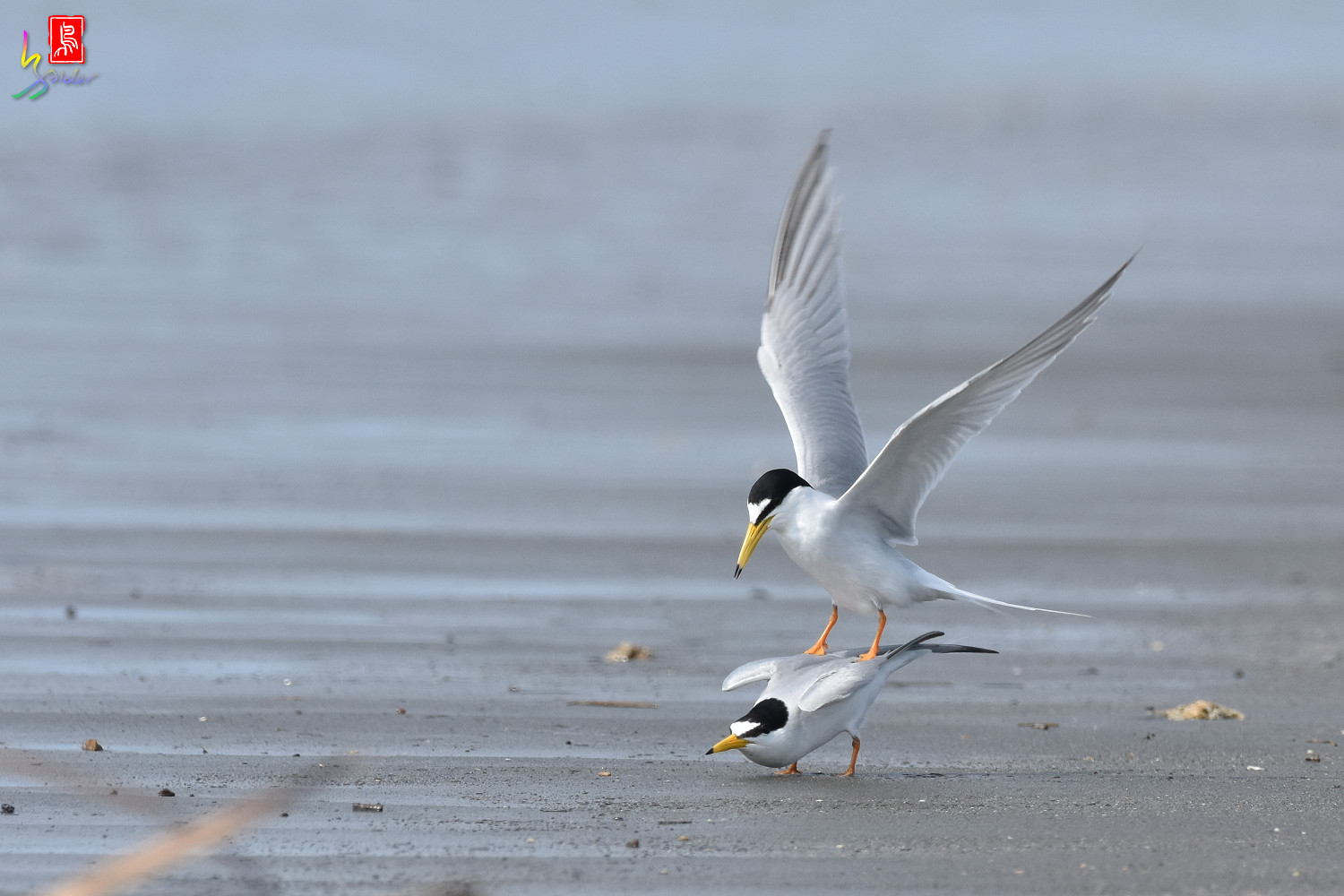 Little_Tern_4344