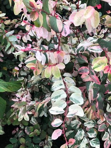 Breynia disticha 'Roseo-picta', NYBG