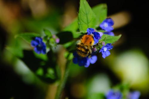 Bumblebee visiting bugloss flower