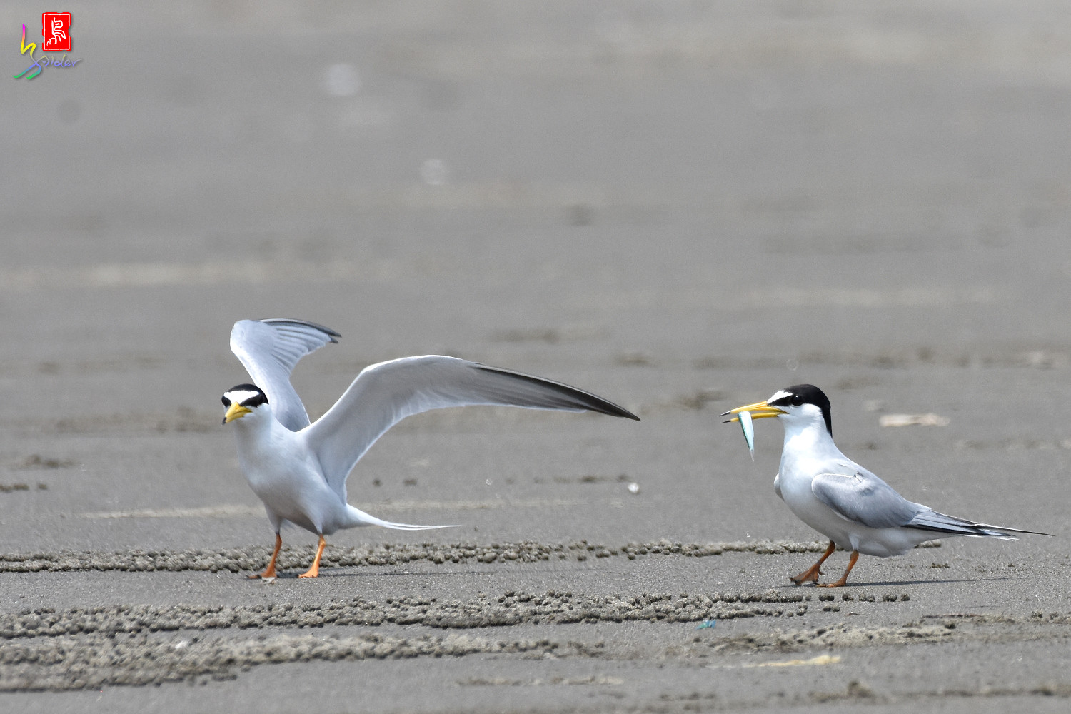 Little_Tern_4939