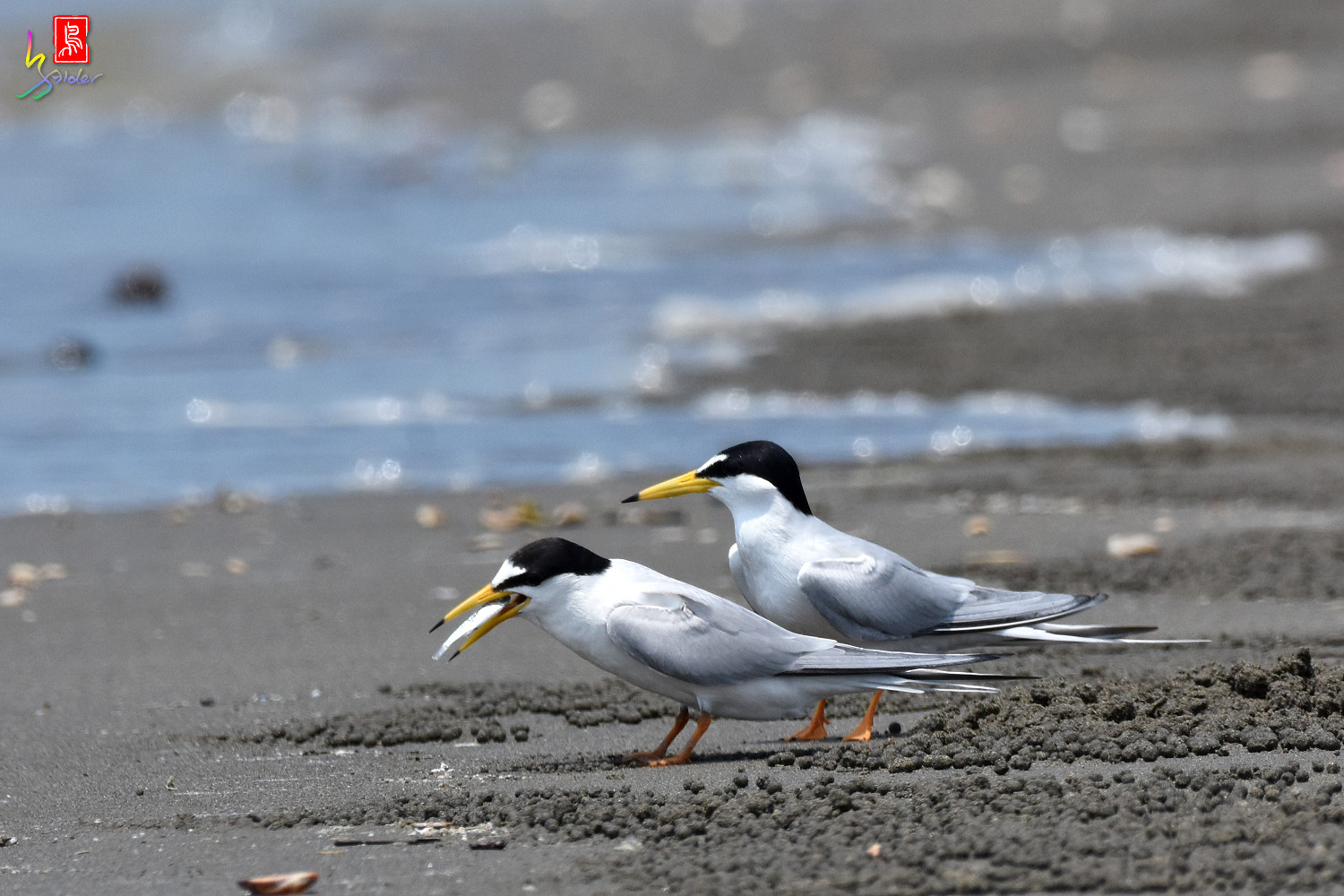 Little_Tern_4930